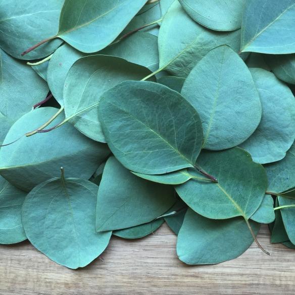 eucalyptus-2086785_1920